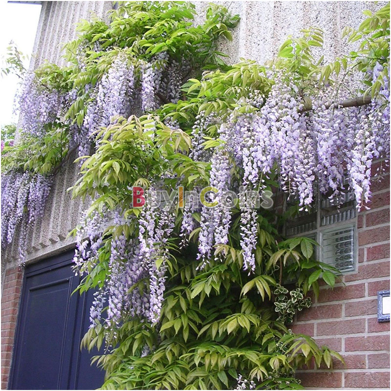 20/40Pcs Purple Chinese Wisteria Vine Tree Flower Fragrant Seeds Fragrant Blooms